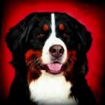 Vom Jurahof – Berner Sennenhonden